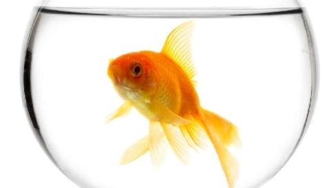 """I tablet \""""spengono\"""" il cervello: la nostra attenzione come quella dei pesci rossi"""
