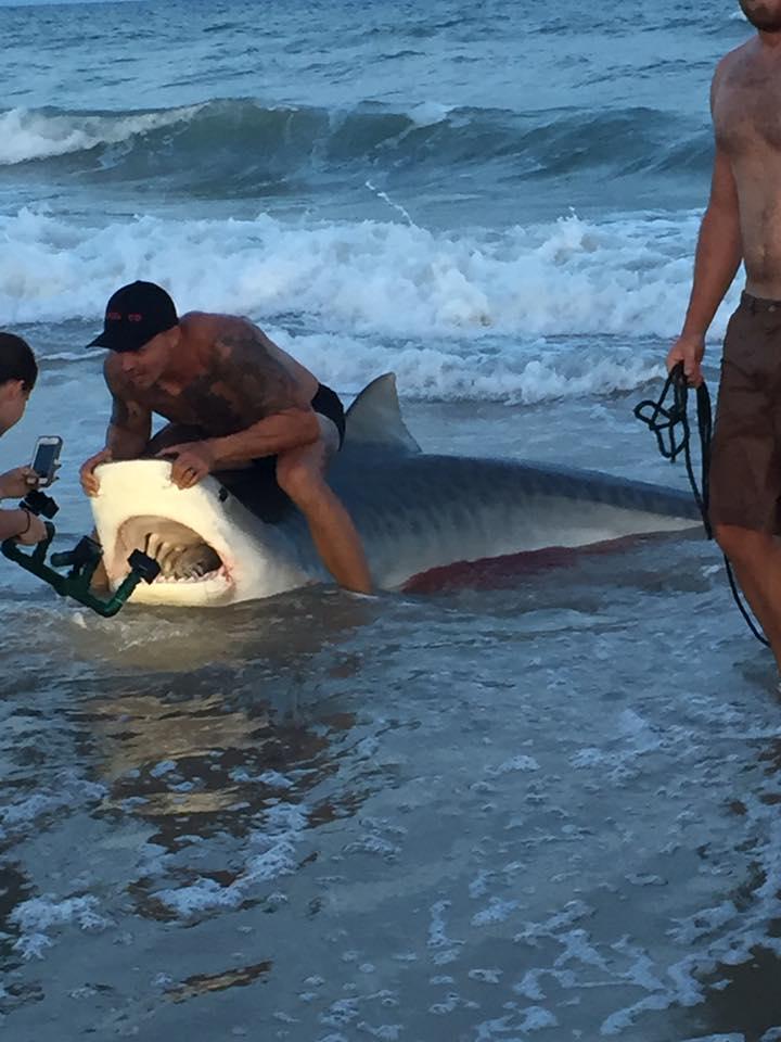 Usa lo squalo tigre va dal dentista tgcom24 for Topsail island fishing