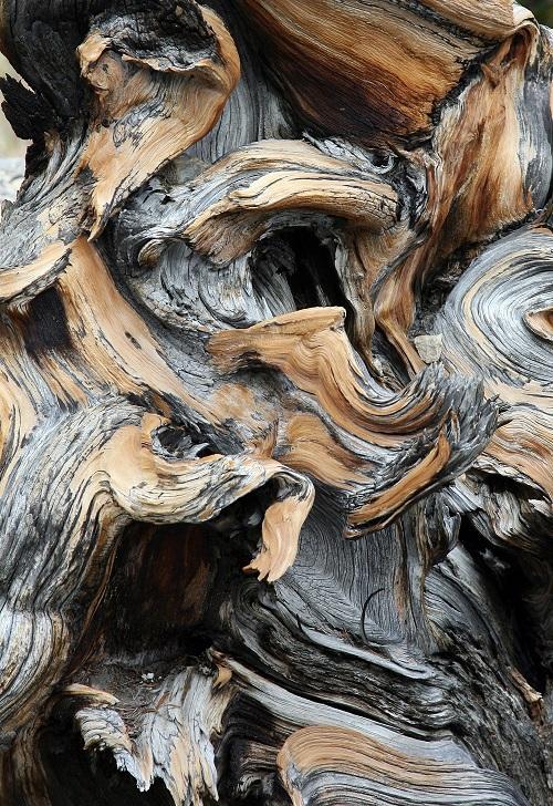 Per la Giornata dell albero, le piante più antiche del mondo