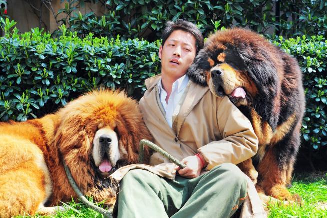 Cina, venduto all'asta il cane più costoso del mondo: è un mastino tibetano