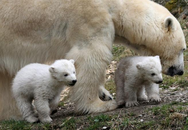 Il debutto degli orsetti polari
