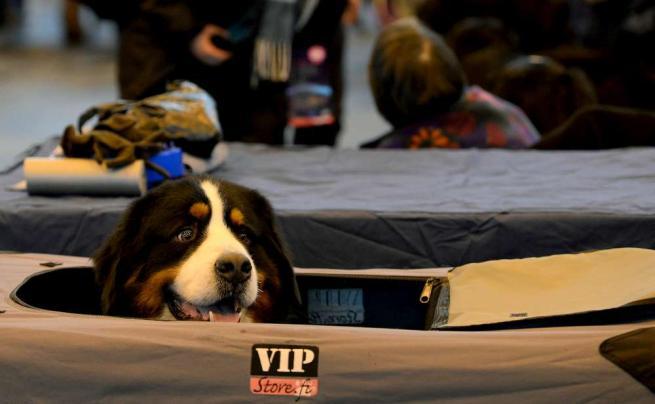 Star a quattro zampe: via all'esibizione canina più importante del Regno Unito