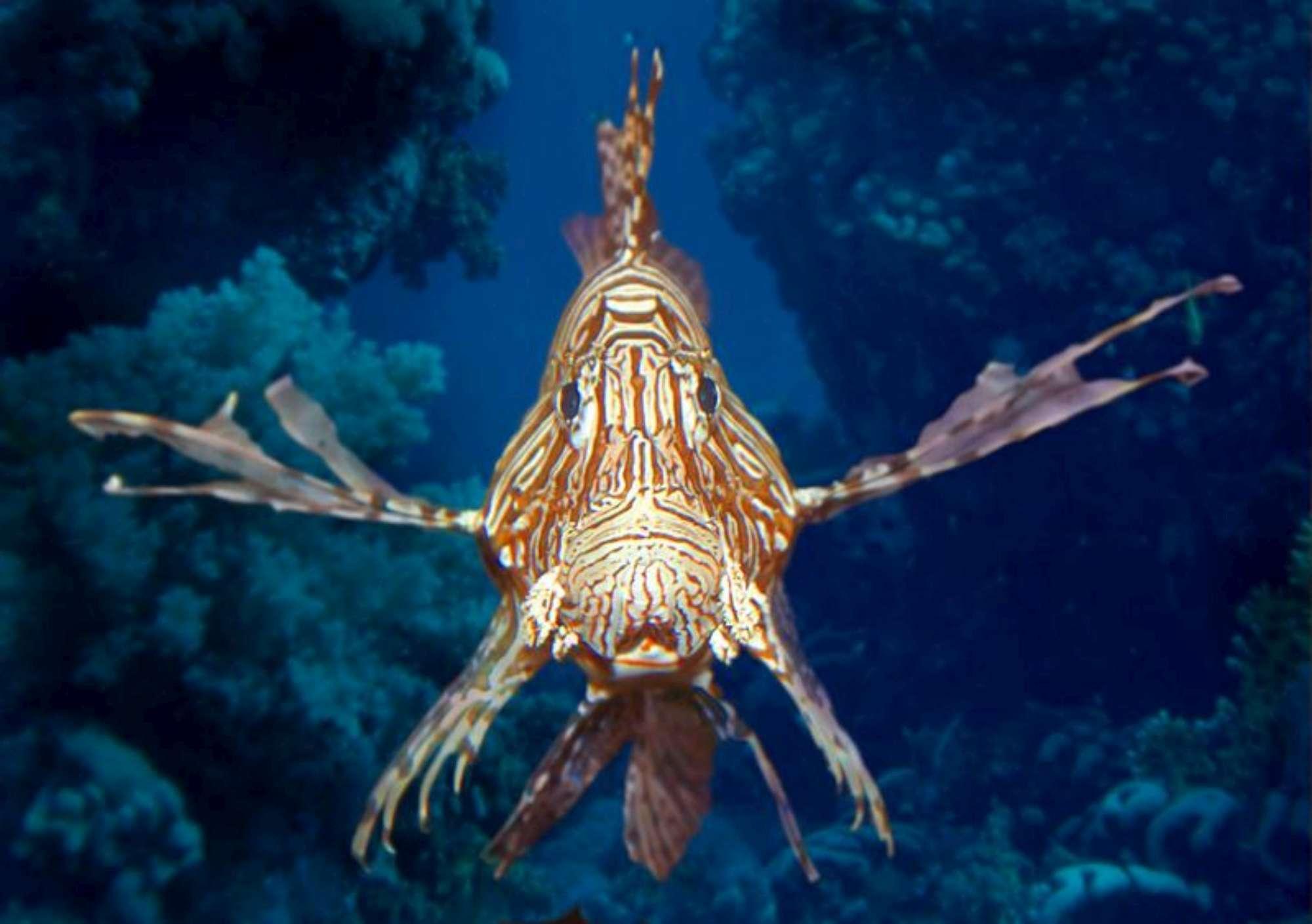Avvistato nelle acque italiane il pesce scorpione scatta for Un pesce allevato in acque stagnanti