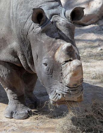 Torino, ecco il rinoceronte bianco FreddyIl pachiderma pesa ben 2 tonnellate
