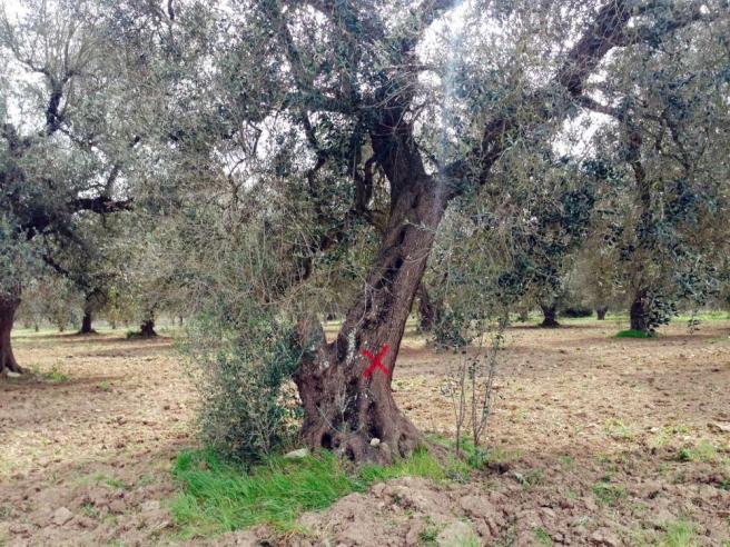 Xylella, verso il disastro ecologico: a rischio eradicazione milioni di ulivi del Salento