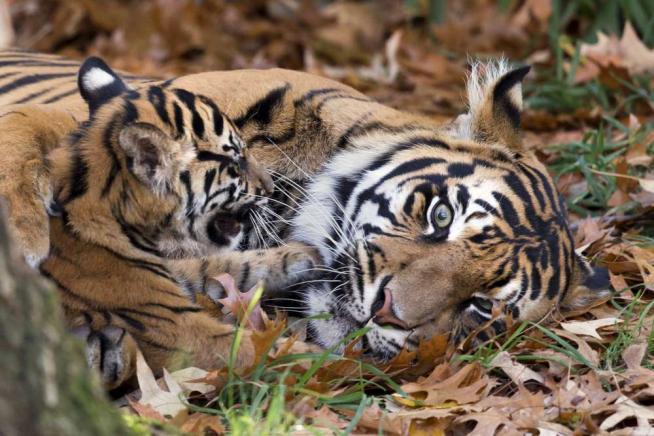 Tigri, panda e altre 440 specie animali a rischio estinzione entro il 2050