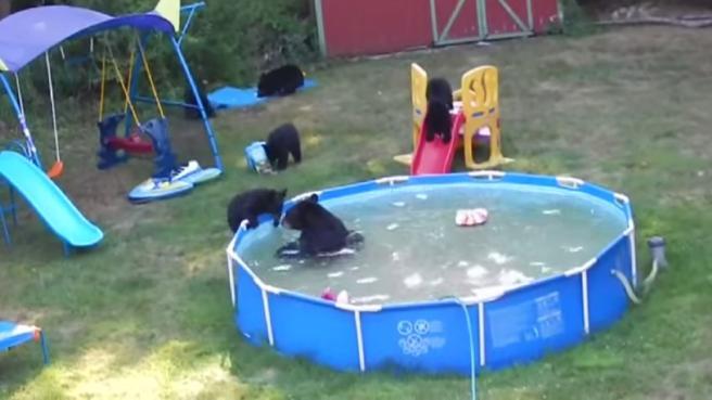 Orsi all'assalto delle piscine delle case per colpa del caldo in Nord America