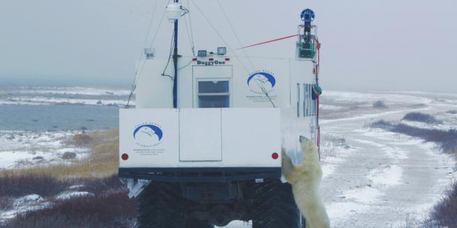 Un orso polare curioso alla scoperta dell'auto di Google Street View