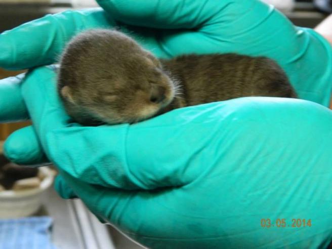 Habemus cuccioli: lo zoo di Pueblo festeggia l'arrivo di tre baby lontre