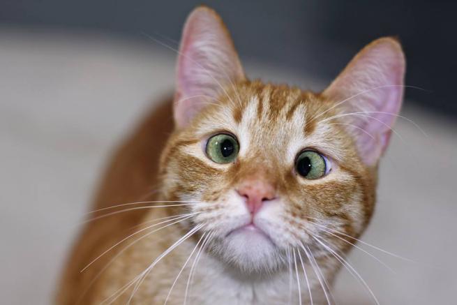 Jarvis, il gatto strabico star del web