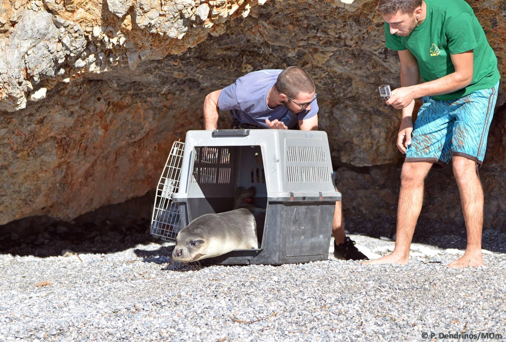 Mikonos, torna in libertà il cucciolo di foca salvato con la raccolta fondi dell Acquario di Genova