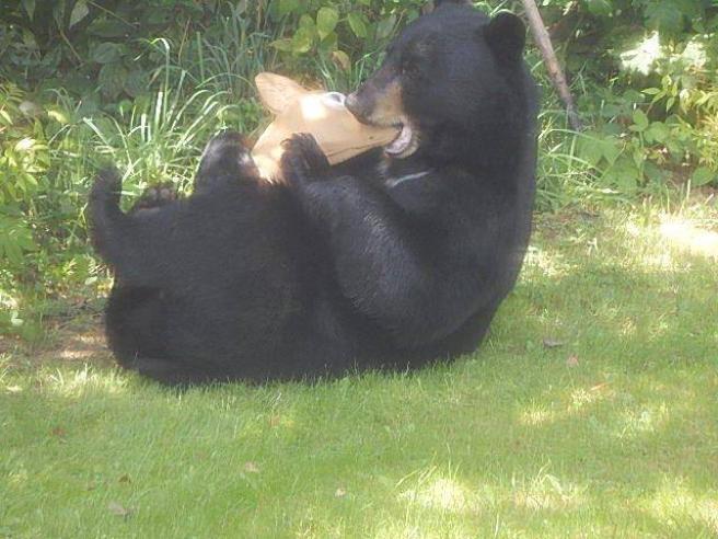 La delusione dell'orso bruno beffato dal finto cervo