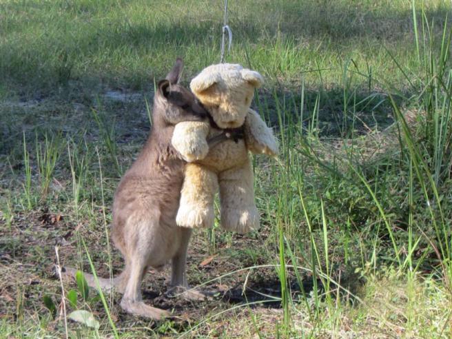 Australia, il canguro in cerca di coccole