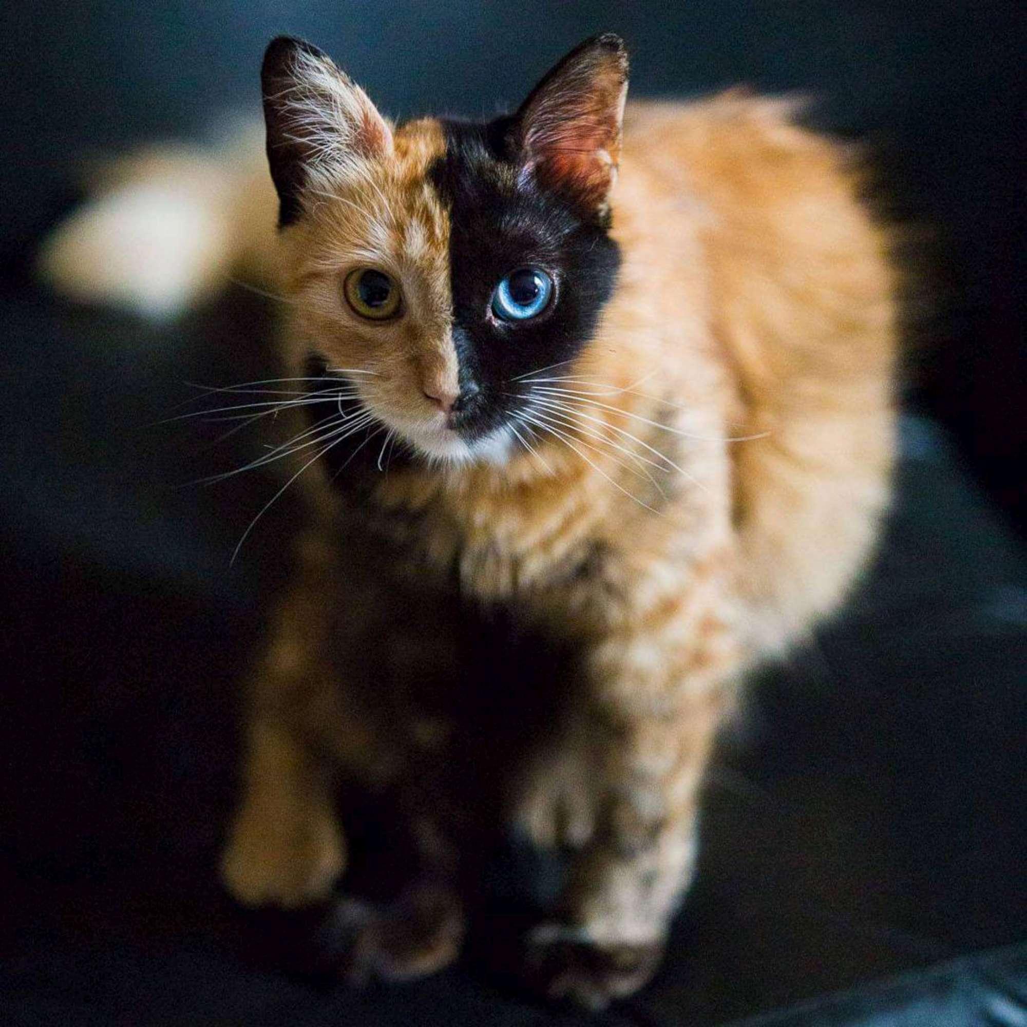 Un felino, due colori: ecco Quimera, la gatta  a due facce