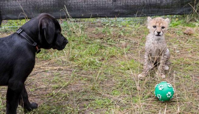 Australia, la speciale amicizia tra il ghepardo Siri e il cagnolino Iris