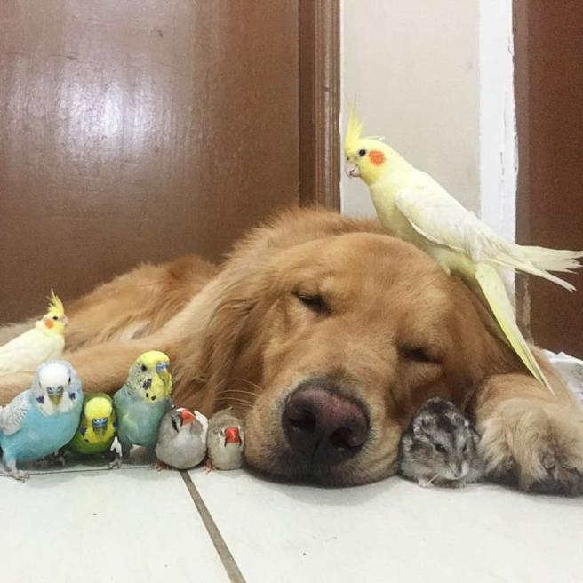 Dal Brasile ecco Bob, il cane social che vive con otto uccellini e un criceto