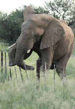 Nellie, l'elefantessa più agile dell'Africa Scavalca un recinto nonostante il suo peso