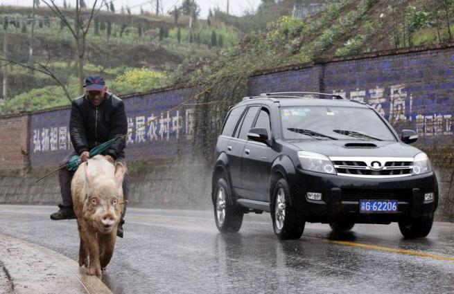 Si ammala e non può più camminare Cinese cavalca maiale per spostarsi