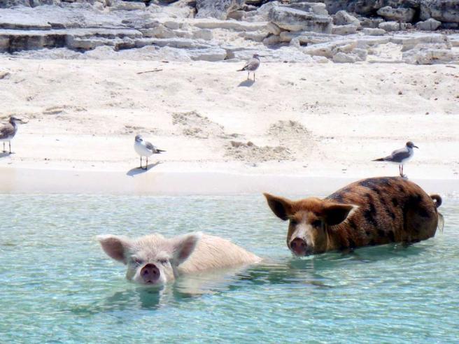 Nuotare con i maiali? Non è uno scherzo Alle Bahamas c'è una spiaggia per loro