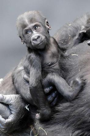 Zoo di Chicago, il nome del baby gorilla scelto attraverso un sondaggio