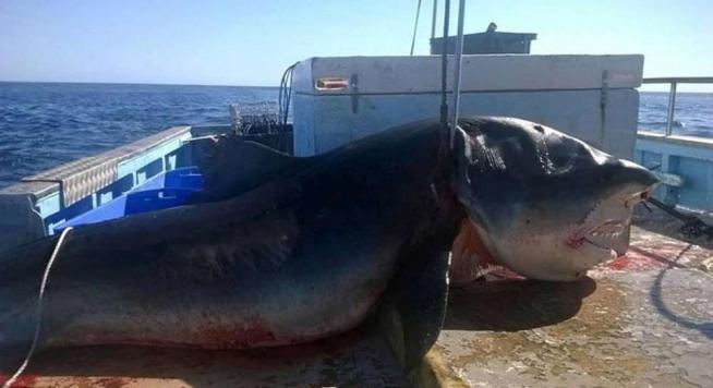 Australia, catturato squalo tigre di 6 metri