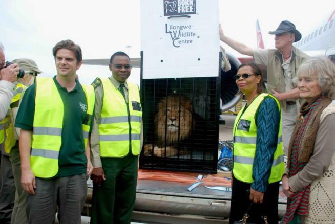 Simba, il leone maltrattato torna in libertà