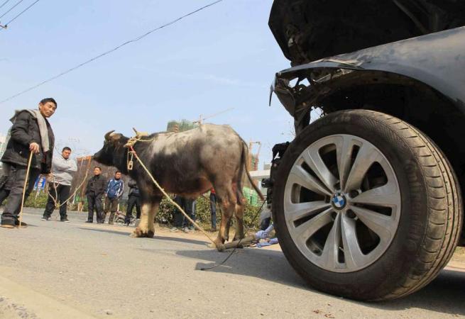 Cina, ha un incidente e sfascia l'automobileLa riporta trainata da un bufalo a noleggio