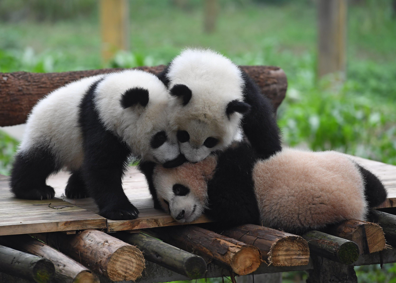 Cina, nati tre piccoli cuccioli di panda gigante allo zoo di Chongqing