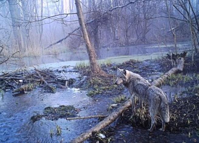 A trent'anni dal disastro nucleare, i lupi riconquistano l'area di Chernobyl
