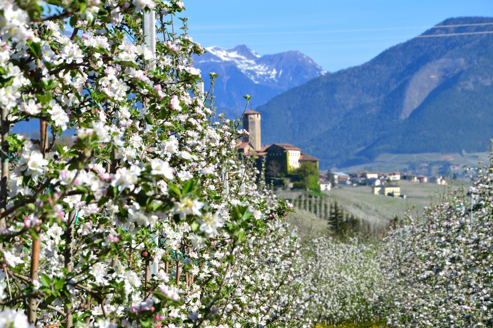 Trentino aprile tutto un dolce fiorire tgcom24 for Apri le foto del piano