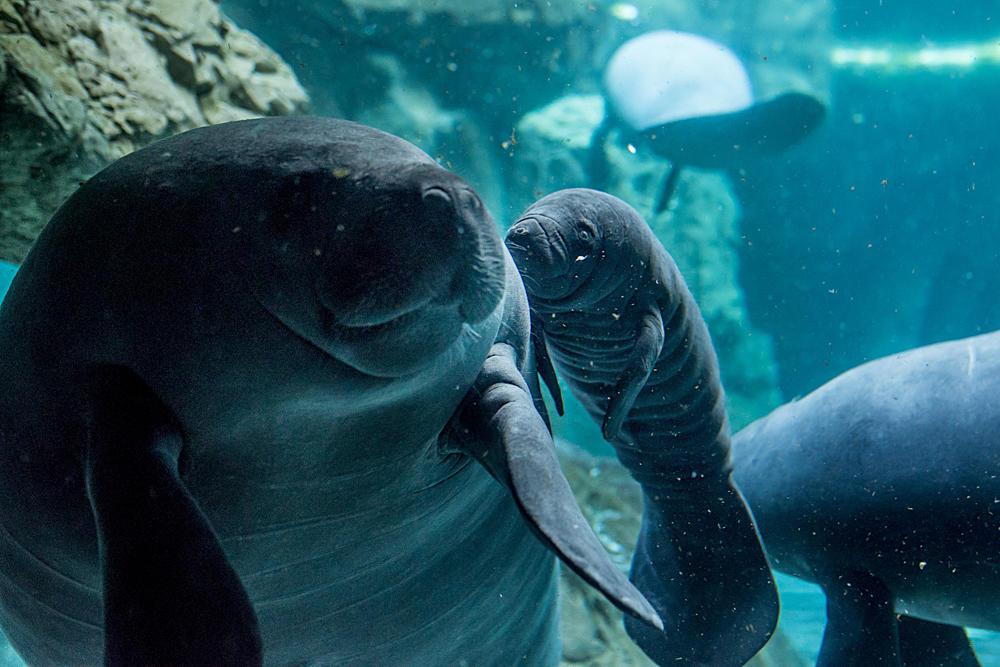 All'Acquario è nata una sirena, è un cucciolo di lamantino