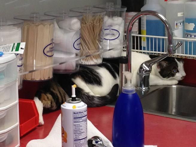 Il terrore dei gatti? Il veterinario