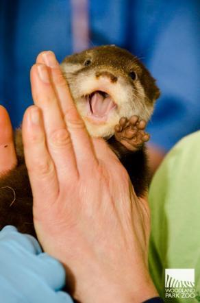 Seattle, le piccole lontre sprizzano salute