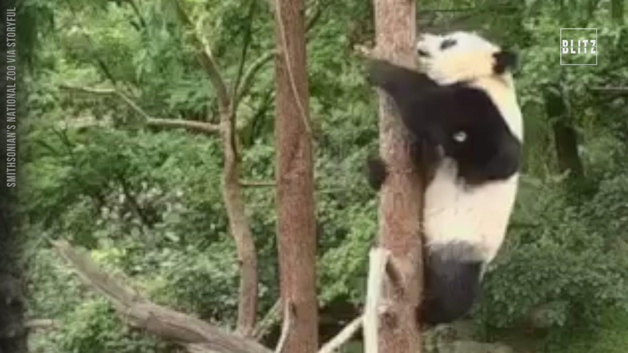 Bei bei il panda che ama cadere dagli alberiquot video for Konzentrationsschw che bei schulkindern