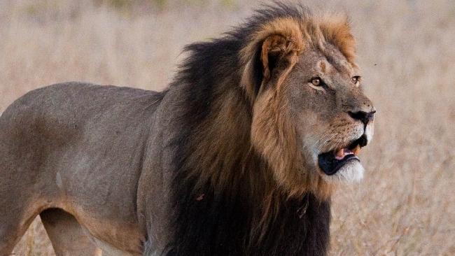 Cecil, il dentista che ha ucciso il leone si difende: