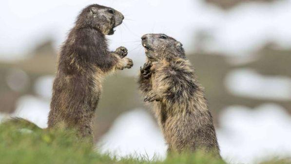 Mangiano un rene crudo di marmotta: coppia morta di peste bubbonica