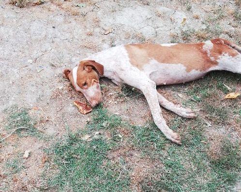 Ciko, il cane da caccia abbandonato dal padrone perché senza fiuto