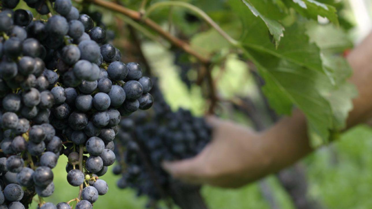 Alzheimer, una dieta ricca d'uva può contrastare la malattia