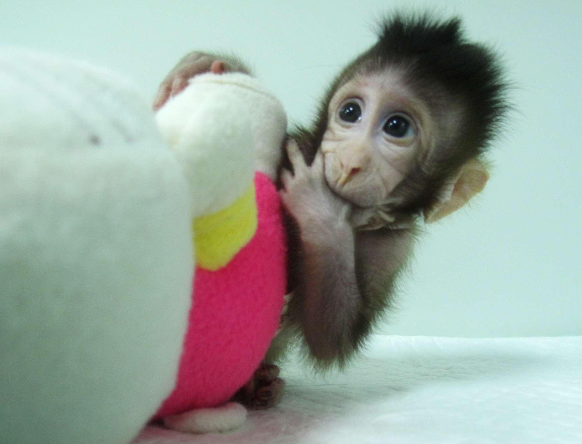 Prime scimmie clonate con la tecnica della pecora Dolly