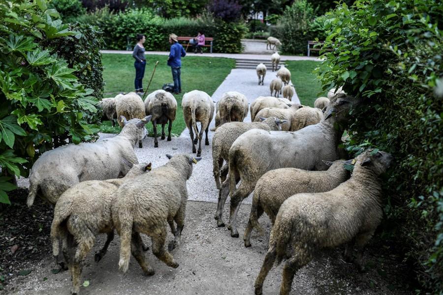 Parigi bucolica, il gregge al pascolo in città per portare la  pace rurale