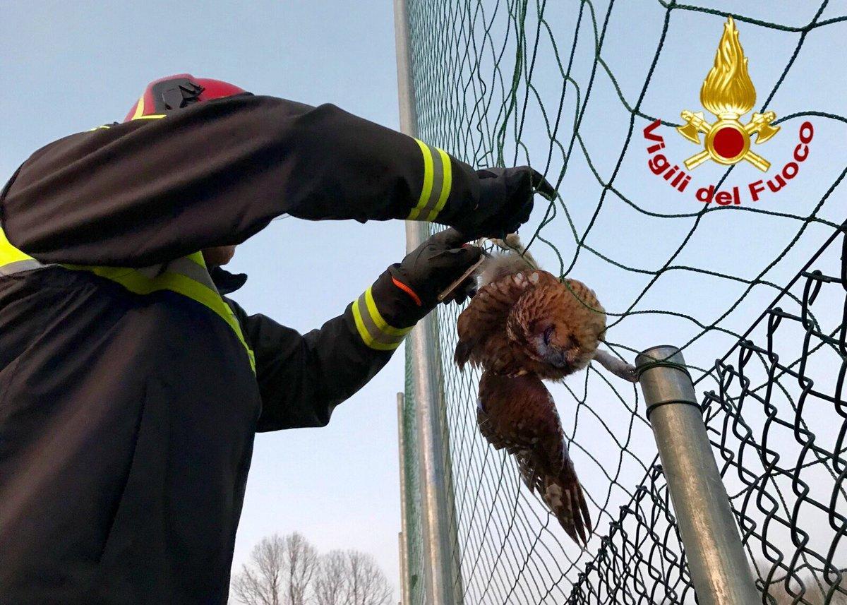 Varese, gufo finisce... in rete: liberato dai vigili del fuoco