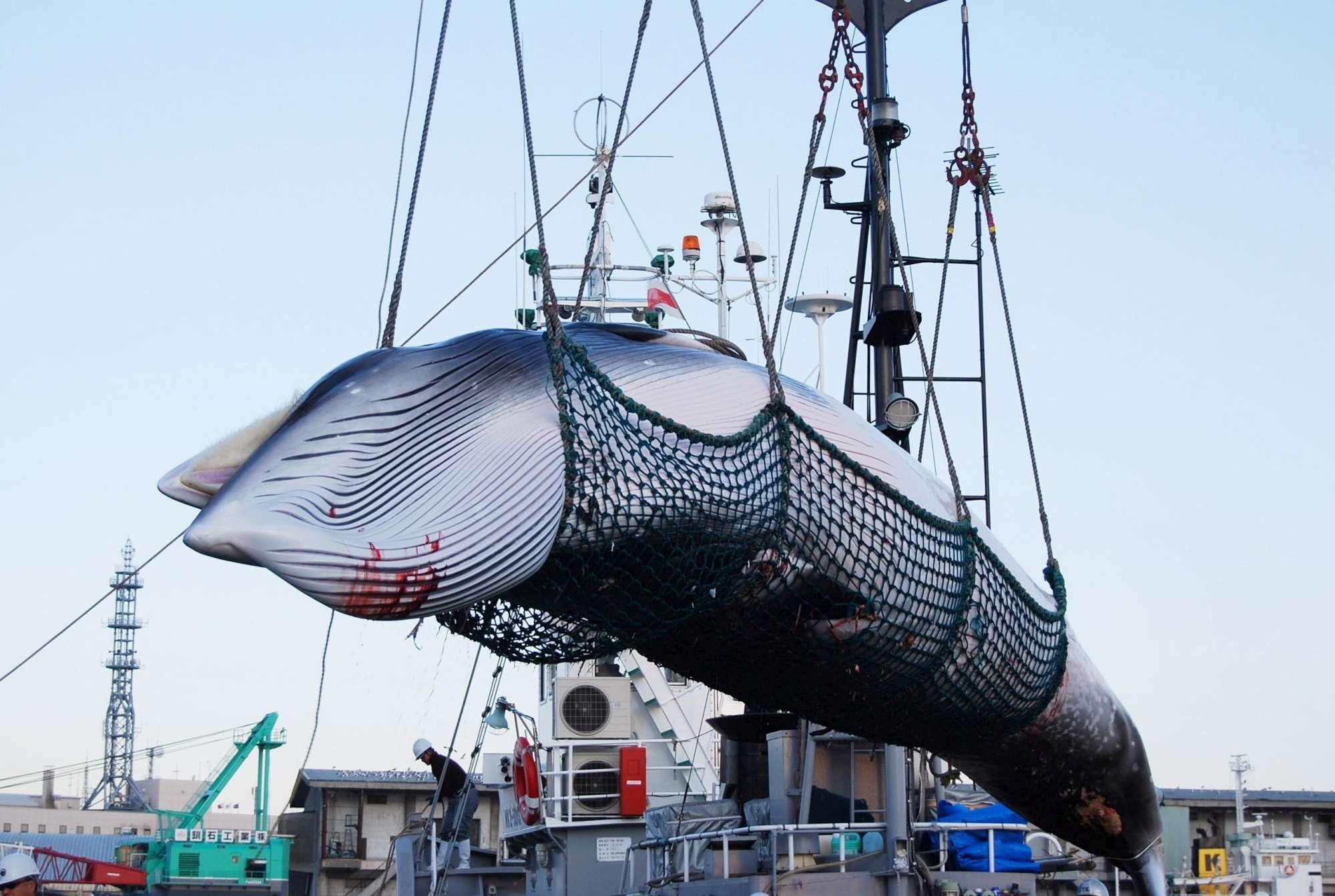 Il Giappone vuole riprendere la caccia alle balene: polemiche