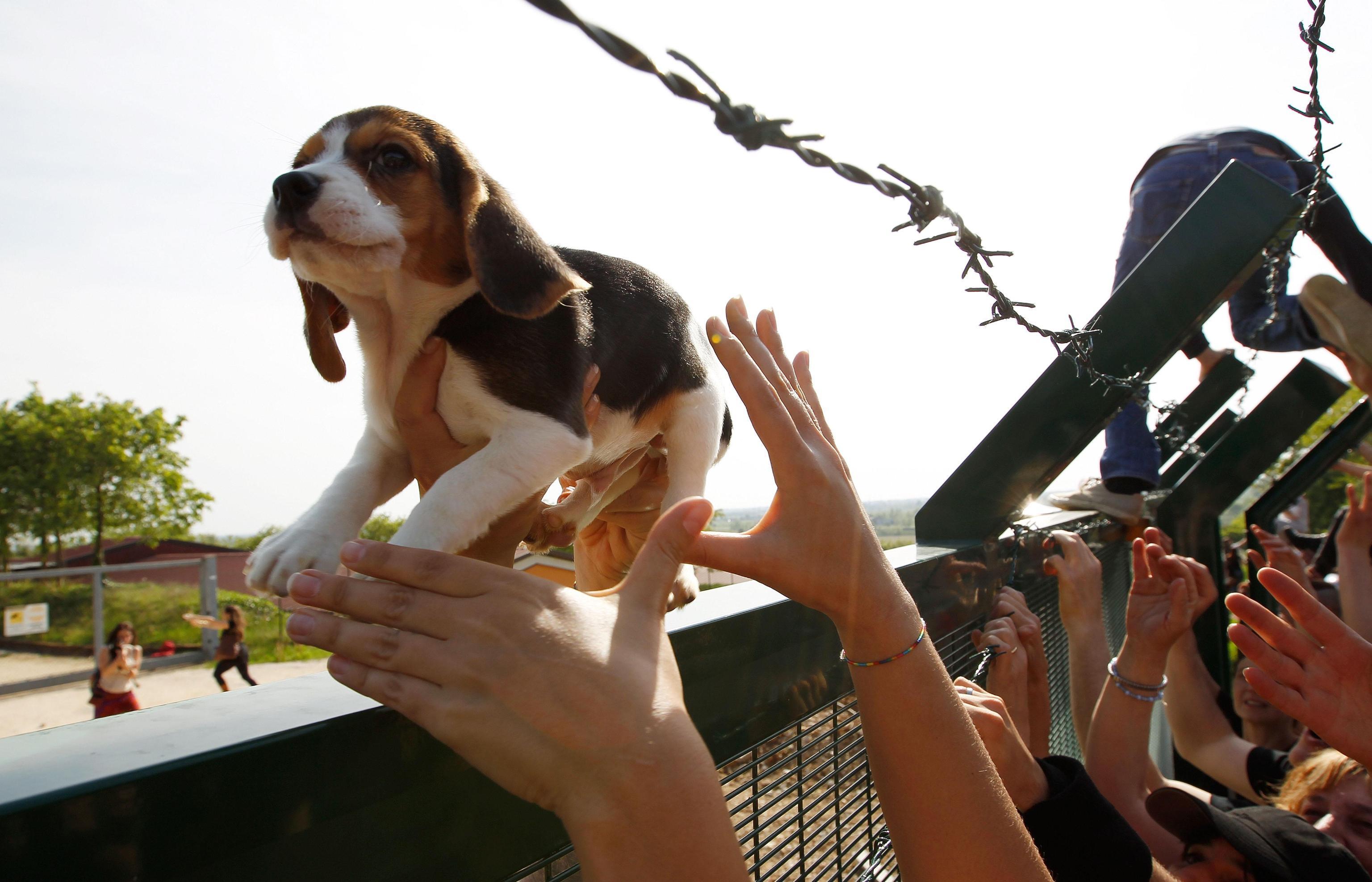 Green Hill, la liberazione dei beagle destinati alla vivisezione