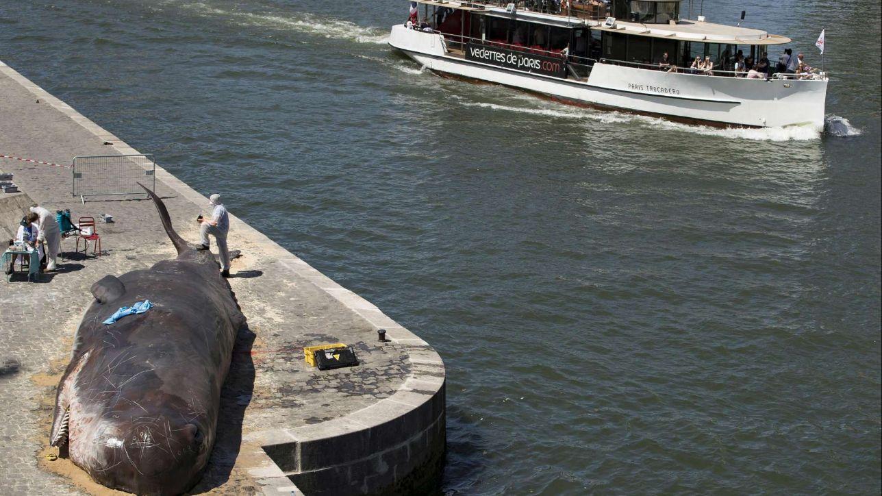 Parigi, una balena spiaggiata sulla Senna: spavento tra i turisti