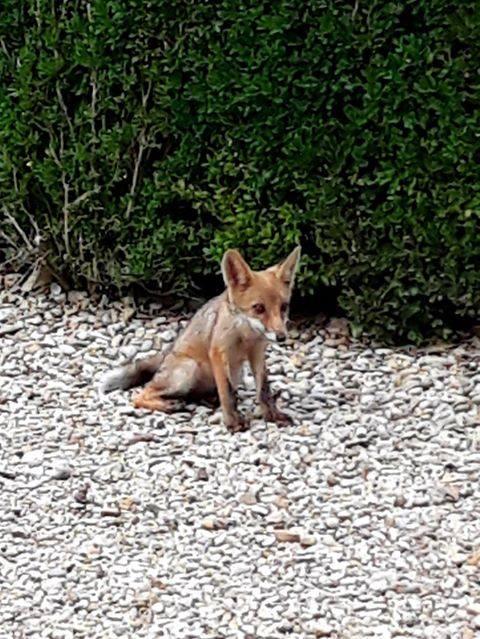 Penny e i suoi fratelli: ecco le piccole volpi di Roma nate in primavera