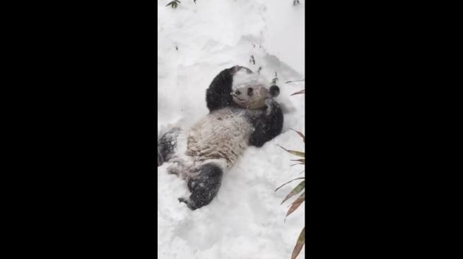 Usa, il panda Tian Tian si gode la neve