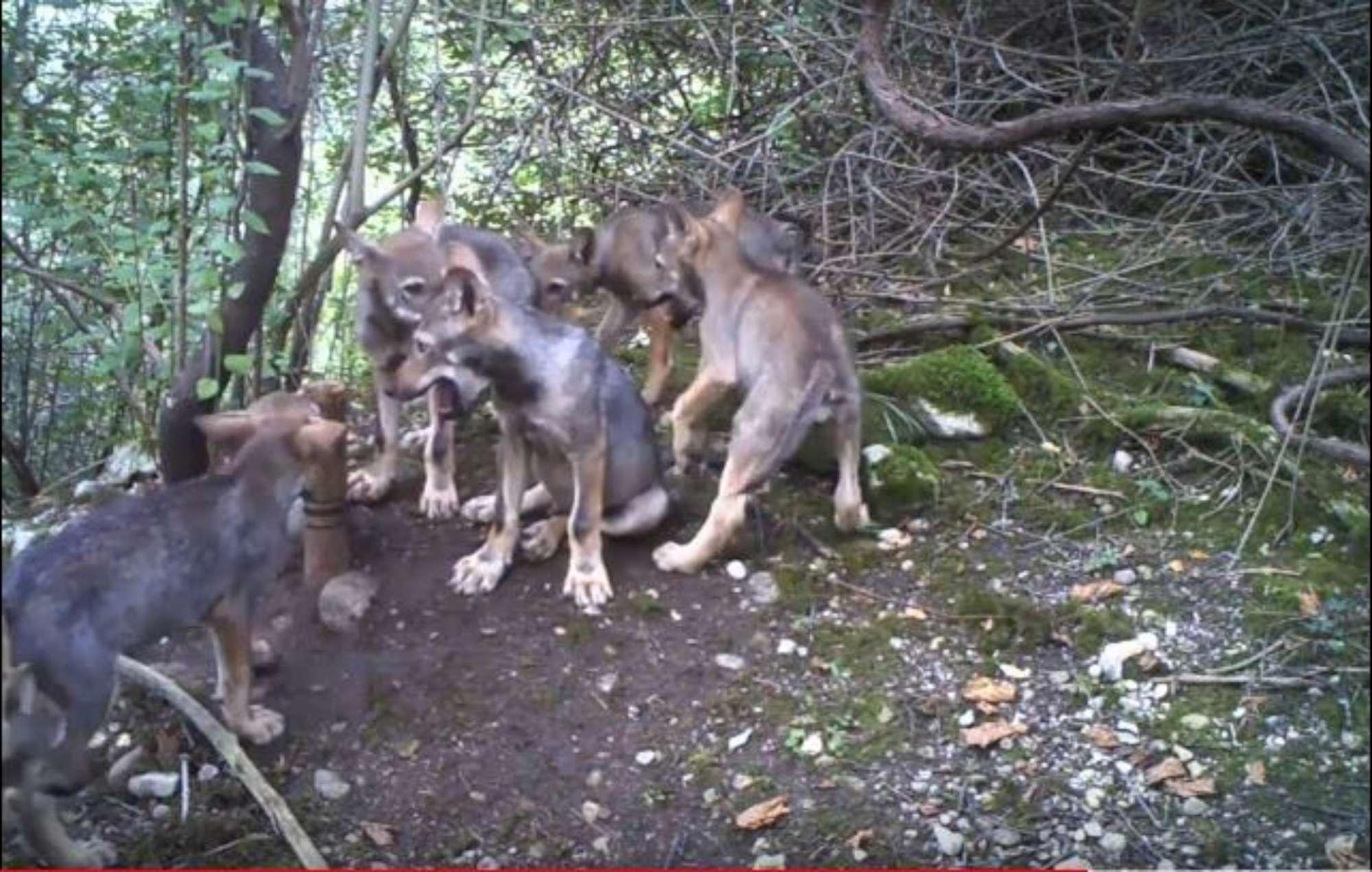 Friuli, nascono sei cuccioli di lupo: non accadeva da quasi un secolo