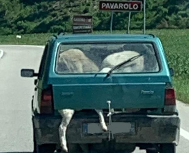Pavarolo, agricoltore viaggiava con sei pecore sulla sua Panda: denunciato