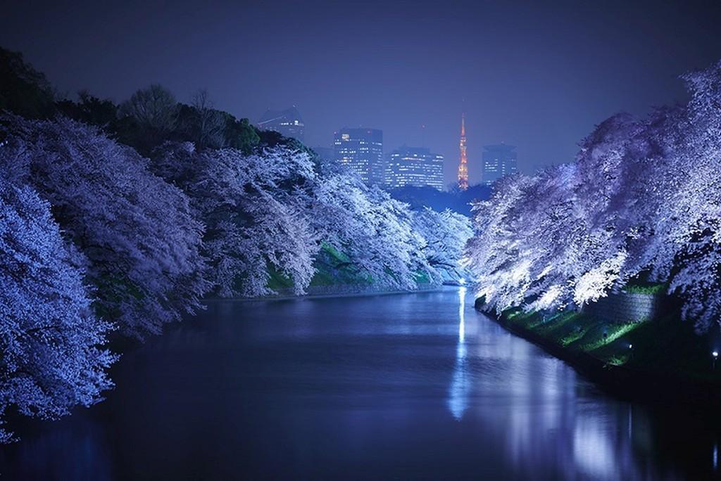 giappone  a tokyo per lo spettacolo dei ciliegi in fiore