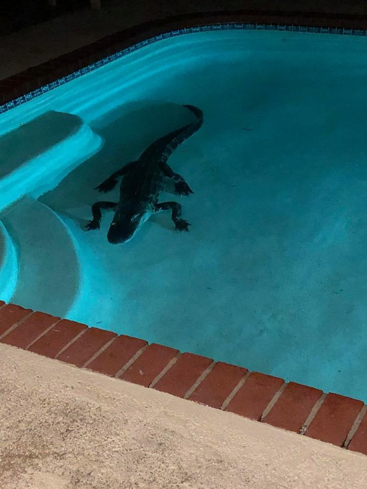 Niente bagno di notte: in piscina c è l alligatore